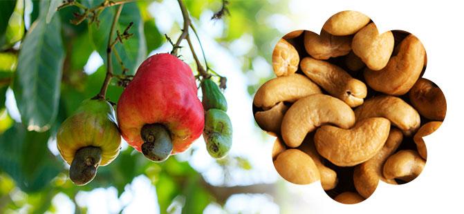 Tanmondial--cashew